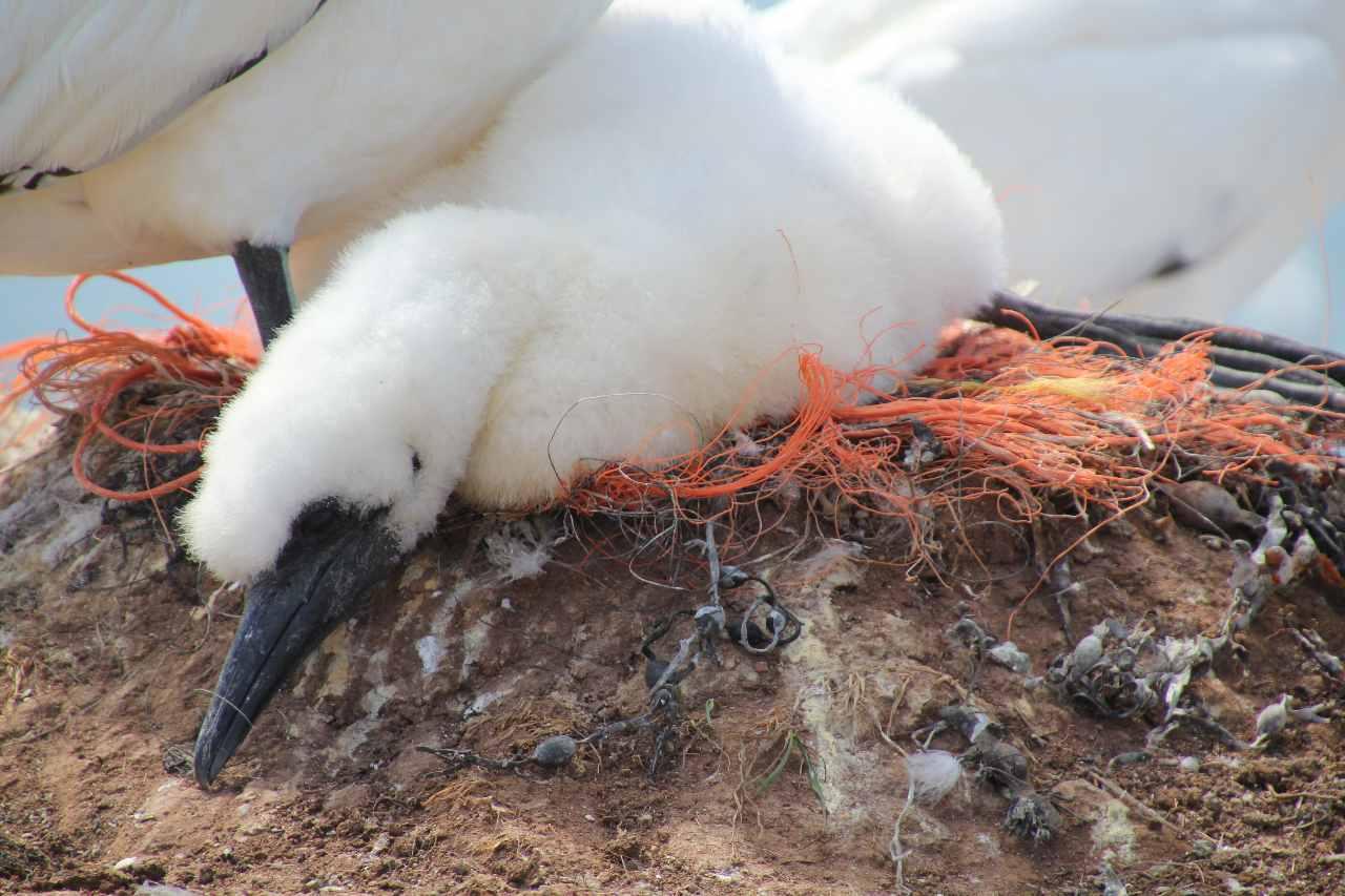 Basstölpel in Plastiknest auf Helgoland