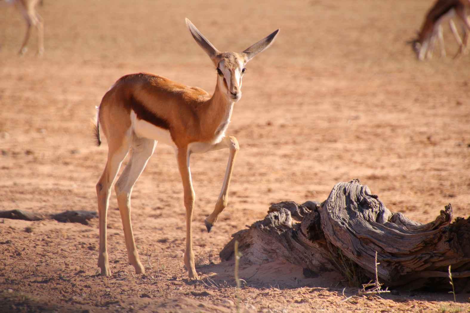 Kgalagadi Transfrontier Park Springbok