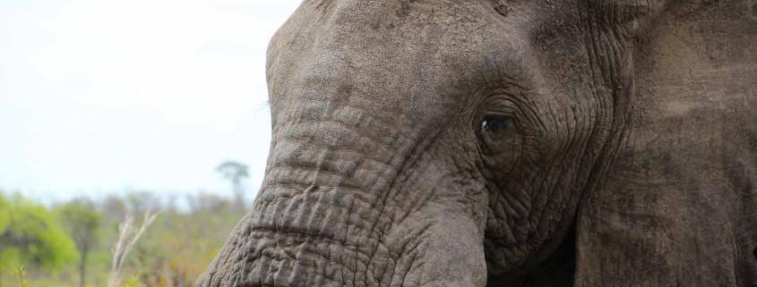 Elefant Krüger