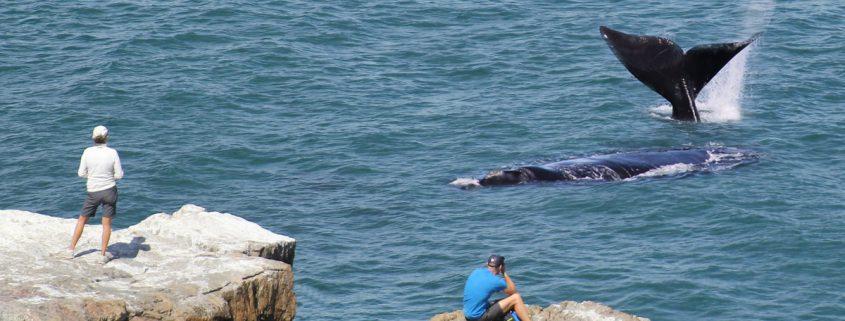 Walbeobachtung-Walsaison-Whalewatching-Südafrika-besten-Spots-Insider-Tipps
