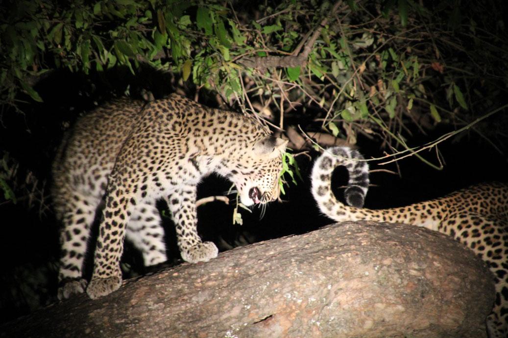 Wo_beobachtet_man_am_besten_Tiere_in_Afrika_Leopard